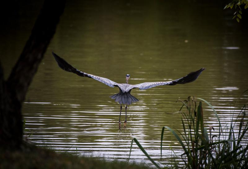 Crane flying over the Mason Pond