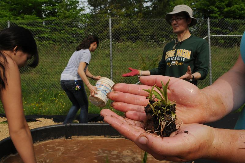 Dr. Changwoo Ahn planting wetland plants