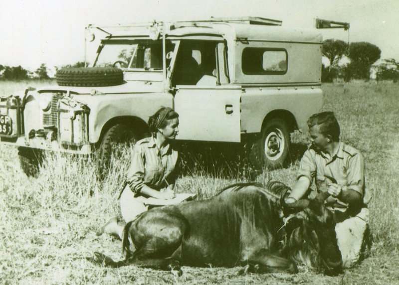 The first attached is a photo from the Serengeti Plains, Tanganyika, (now Tanzania) in 1959. It shows me and my biologist, conservationist wife, Marty, a wildebeest we have immobilized for samples and to mark for continuing study, and our Land Rover.  We were undertaking the pioneering ecosystem research in the Serengeti-Mara Plains of East Africa. In the late 1950s and early 1960s we spent  about 6 years on safari in the field, living in a tent and moving around our roughly 16,000 square mile research area in the Land Rover and occasionally a small plane.