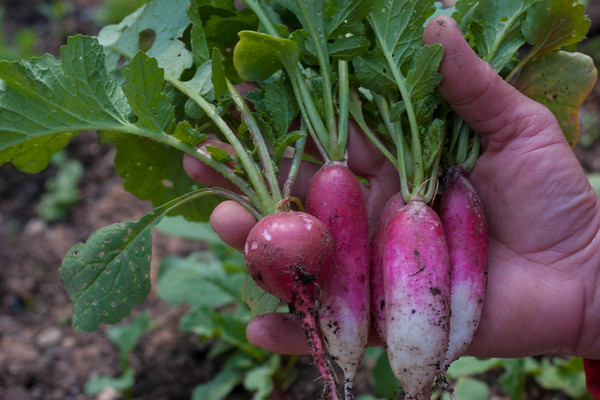 The first harvest of the 2015 growing season; radishes.  (Provided by Dean Pike)