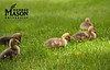 Goslings eat in the grass near Patriot Circle at Fairfax Campus. Photo by Alexis Glenn/Creative Services/George Mason University