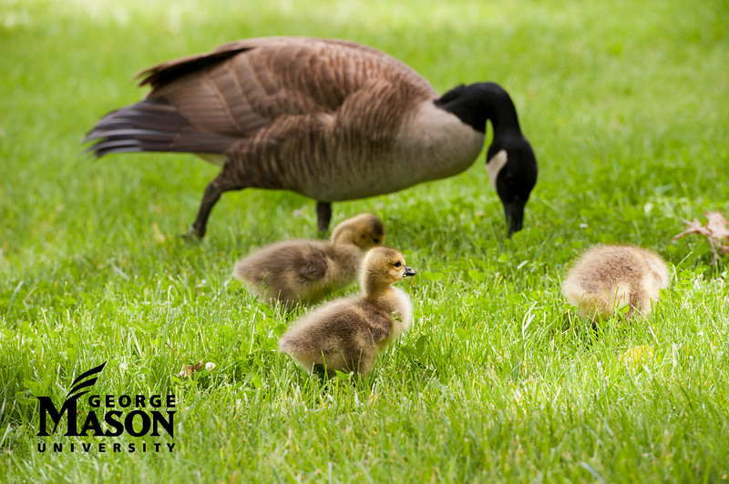 Geese and goslings eat in the grass near Patriot Circle at Fairfax Campus. Photo by Alexis Glenn/Creative Services/George Mason University