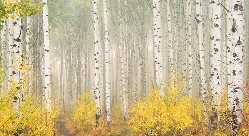 Aspens in fog - Colorado Mountains