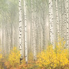 Aspens in fog - Colorado Mountains