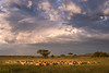 Herd under a stormy sky