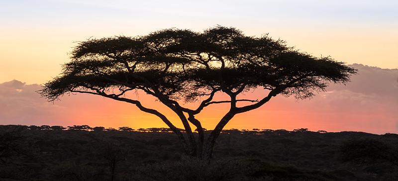 Umbrella Acacia Sunset - Tanzania
