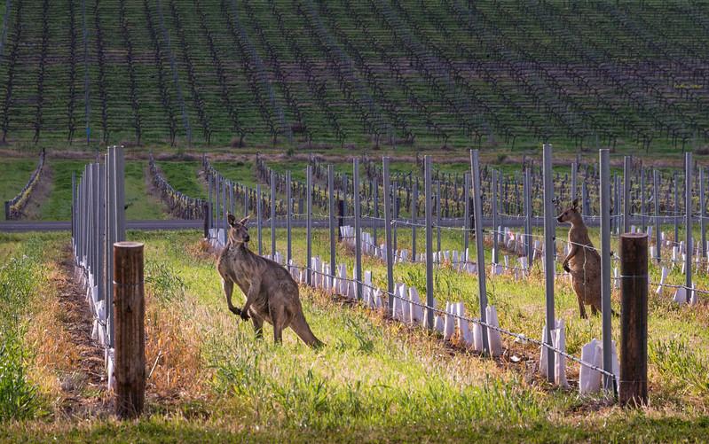 Kangaroos in the Vineyards - Barossa Valley Australia