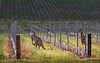 Kangaroos in the Vineyards - Barossa Valley Australia