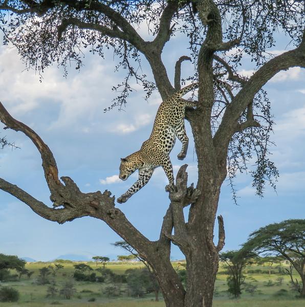 Spots in Motion - Tanzania