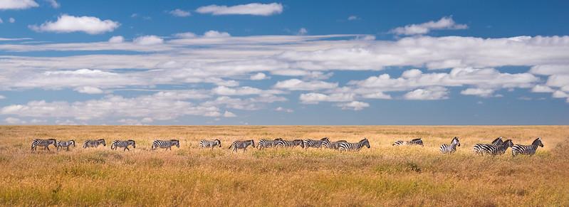 Zebra's on parage - Tanzania