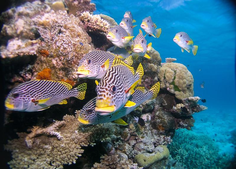 School of Fish - Great Barrier Reef