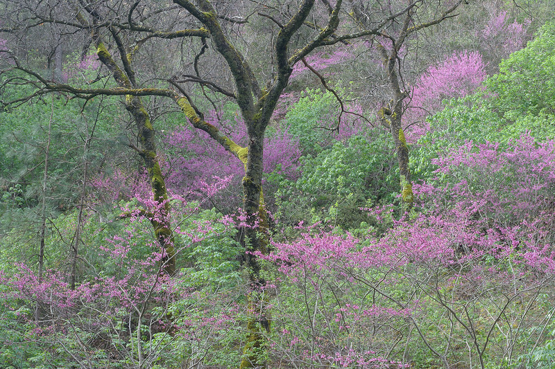 Redbud and oaks, Merced River Canyon, CA, USA