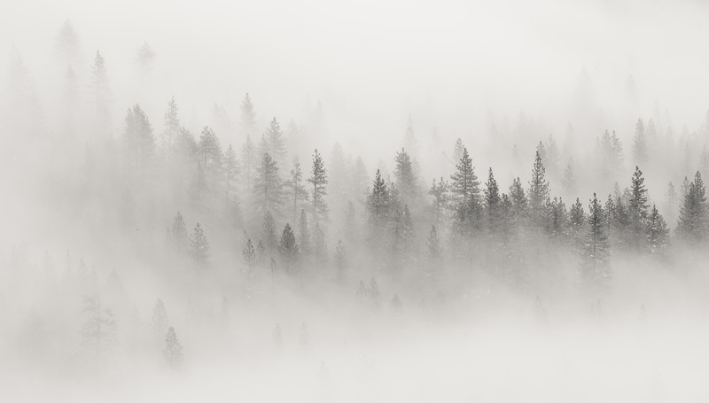 Trees Breaking Through the Fog