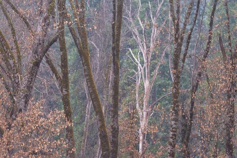 Naked Tree at Twilight in el Capitan Grove
