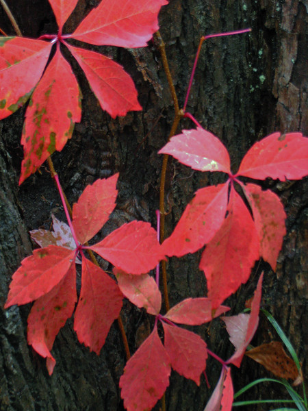 Red Leaves - Hwy 109 - north of Wolfeboro, NH