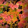 Changing Leaves - Kancamagus Hwy, NH