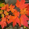 Orange Leaves along Kancamagus Hwy, NH