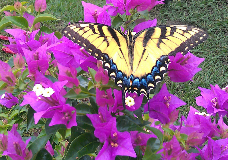 """Tiger Swallowtail by """"C"""""""