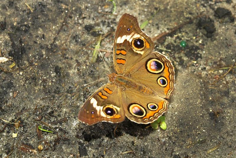 """Buckeye Butterfly by """"C"""""""