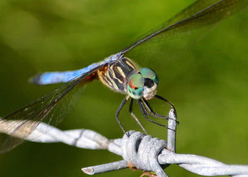 "Blue Dasher by ""C"""
