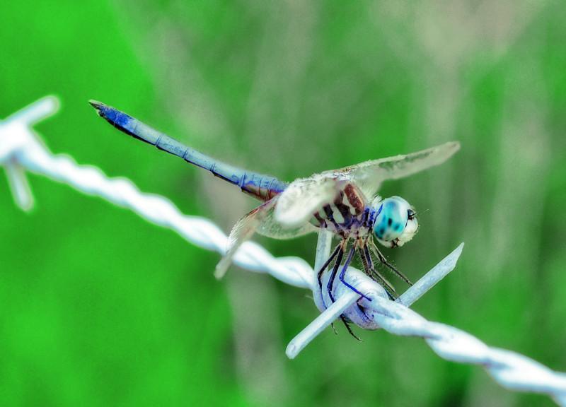 Cj's Dragonfly