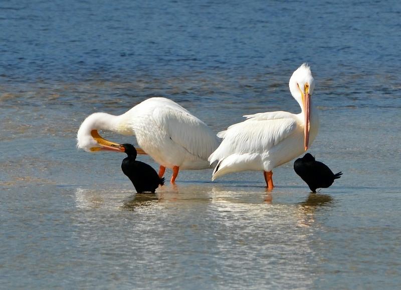 White Pelicans 2