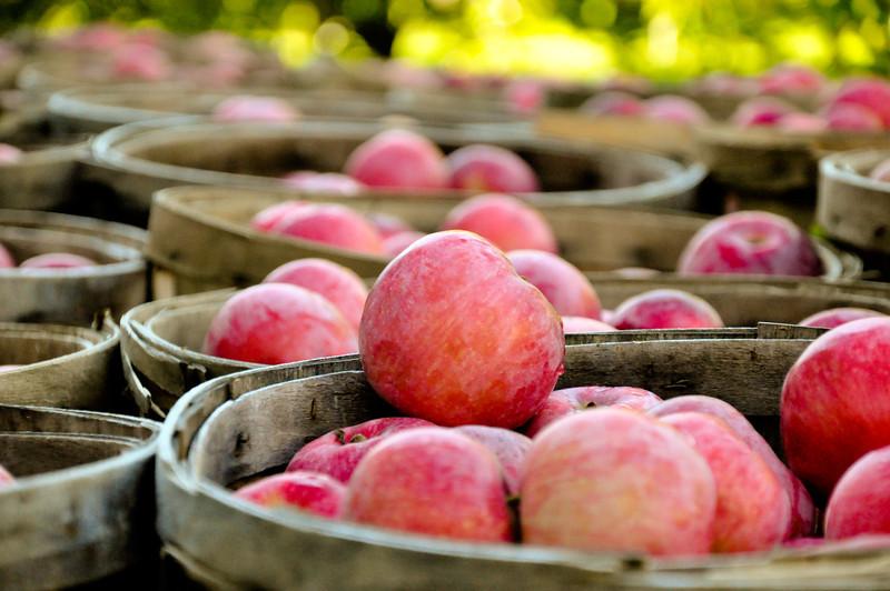 Apples -  Bolton MA