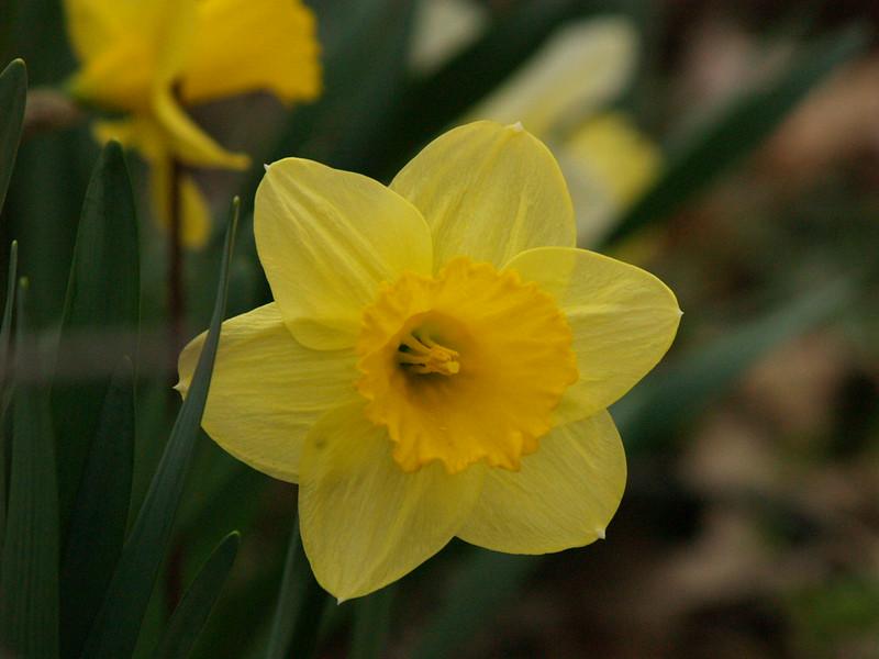 Late April - daffodils at Sheldon Marsh.