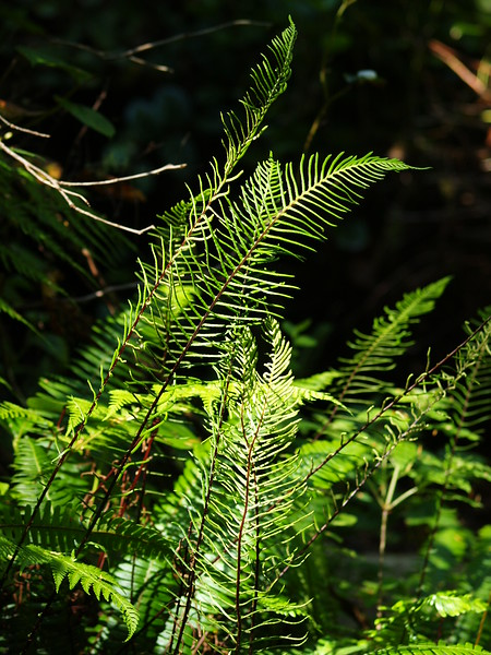 Some of the lacy ferns that line the canopy floor (2009).