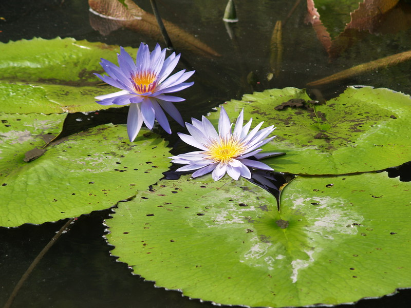 More water lillies