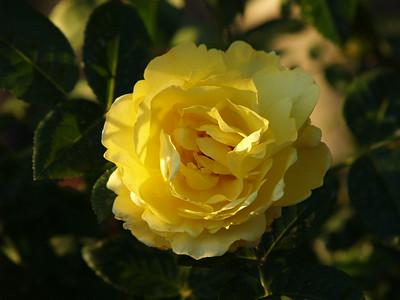 UBC Rose Garden (2009).