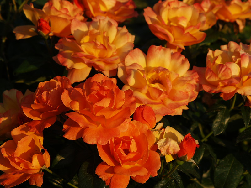 More roses - the stunning orange color is illuminated by the sunset (2009).
