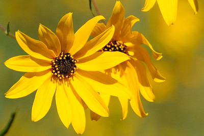 Oh, my, how the sunflowers make me smile . . .