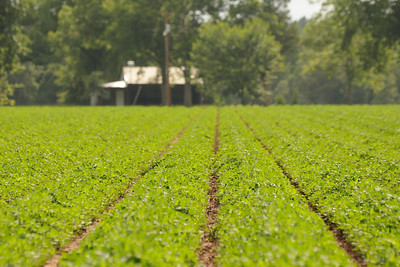 "We Should All Take Pride In Our Work. Yesterday I was chatting with a farmer friend at church about planting and the crops his farm is growing this year.  He was quick to tell me that I needed to see his fields of peanuts.  He said that (compared to another local farmer) his ""rows are straight"" and that they looked good.  Even though I grew up in the country, I hadn't thought much about straight rows.  So I took a ride down Pruitt Road today and was very impressed with his straight rows.  His peanut fields looked really good. ""Any job, great or small, do your best or not at all.""  Leroy, Alabama"