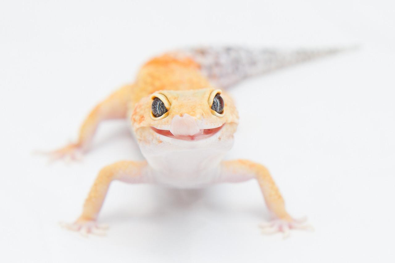 leopard geckos (12 of 19)