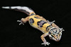 smugmus geckos (15 of 17)