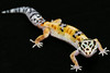 smugmus geckos (5 of 17)