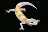 smugmus geckos (9 of 17)