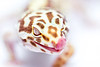 leopard gecko smugmug (1 of 1)