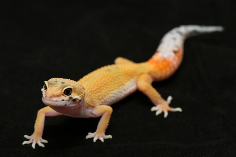 smugmus geckos (1 of 17)