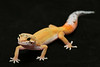 smugmus geckos (1 of 17)