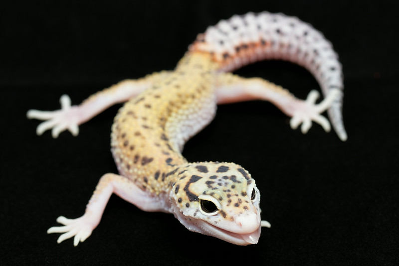 smugmus geckos (8 of 17)
