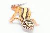 leopard geckos smugmug (9 of 17)