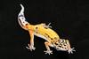 smugmus geckos (13 of 17)