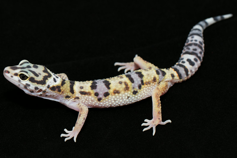 smugmus geckos (7 of 17)