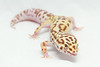 leopard geckos smugmug (7 of 17)