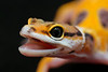 smugmus geckos2 (3 of 3)