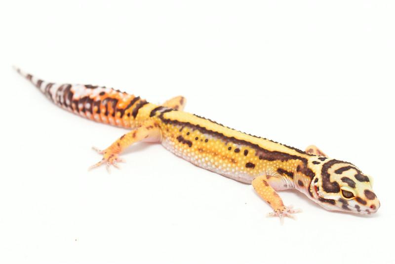 leopard geckos smugmug (8 of 17)