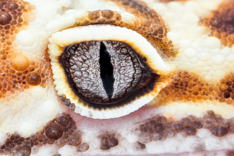 leopard gecko smugmug (2 of 5)