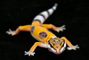 smugmus geckos2 (1 of 3)